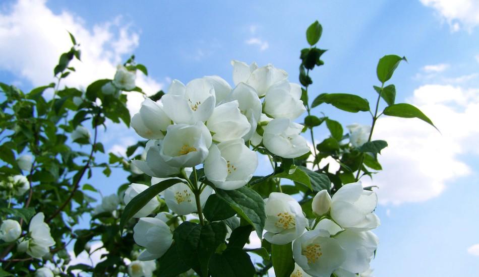 jasmine-2374392_1280-950x550-1.jpg